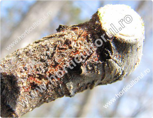 Tratamente de toamna-iarna-primavara la pomi cu ulei horticol