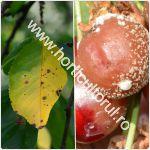 bolile-ciresului-afectarea-pomilor_150
