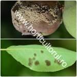 bolile-parului-afectarea-pomilor_150