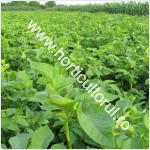 cultivarea-cartofului-in-gospodarie_150