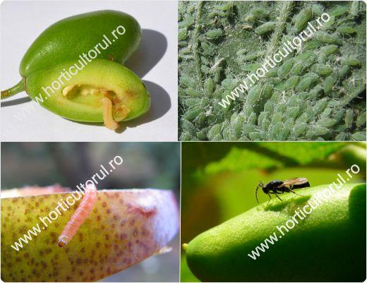 Daunatorii Prunului & Prunelor si afectarea plantelor