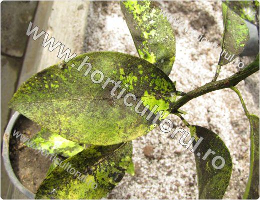 fumagina-negreala-frunze-lamai