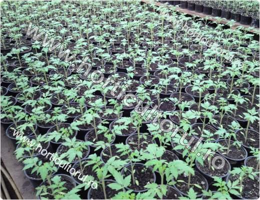 Rasaduri de Tomate pentru Ciclu 1 prin tehnologii moderne