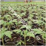 rasaduri-de-tomate-pentru-ciclu-1-solar_150