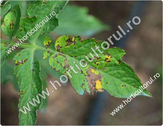 Septorioza-Patarea alba a frunzelor de tomate (Septoria lycopersici)