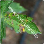 septorioza-patarea-alba-a-frunzelor-de-tomate_150