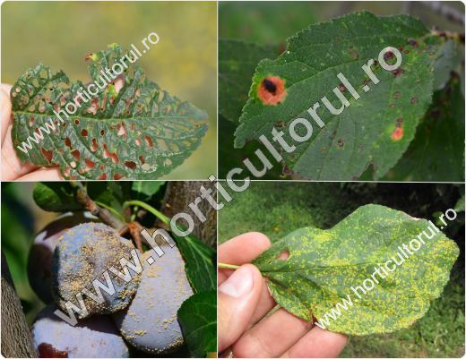 Bolile Prunului si afectarea plantelor