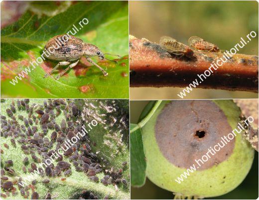 Fig. 1 Daunatorii parului & afectarea pomilor