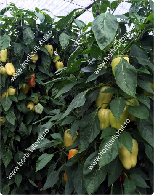 Hibrizi & Soiuri de ardei gras galben-verzui Tip Blocky | Horticultorul.ro