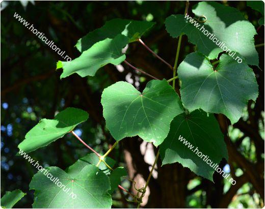 Vita salbatica japoneza (Vitis coignetiae)