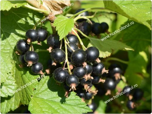 Extract din muguri de Coacaz Negru, 50 ml, Plant Extrakt